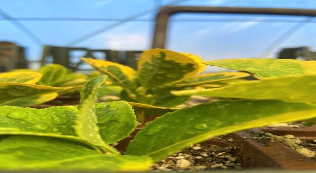 Belediyenin yetiştireceği sebzeler ihtiyaç sahibi vatandaşlara dağıtılacak