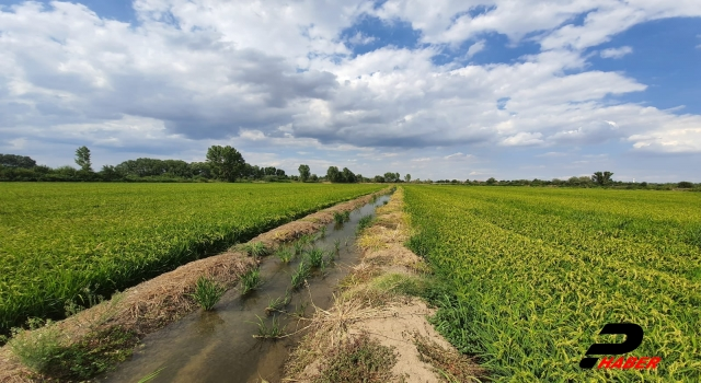 Tarım ve Orman Müdürü Bayazıt, çeltik tarlalarından incelemede bulundu