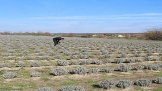 """Kırklareli Tarım ve Orman Müdürü Aksoy: """"Kıraç araziler lavanta ile değerlendirilmeli"""""""