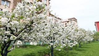 Bağcılar'da Nostalji Bahçeleri'ndeki kiraz ağaçları çiçek açtı