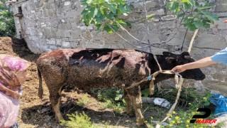 AFAD ekipleri gübreliğe saplanan ineği kurtardı