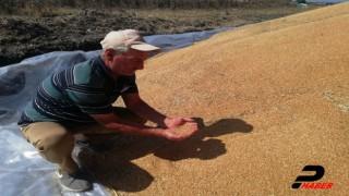 Manyaslı çiftçiler buğday veriminden memnun