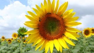 Tekirdağ'da tarlaları sarıya boyayan ayçiçekleri fotoğraf tutkunlarını bekliyor